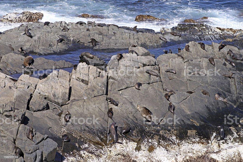 New Zealand Fur Seals stock photo