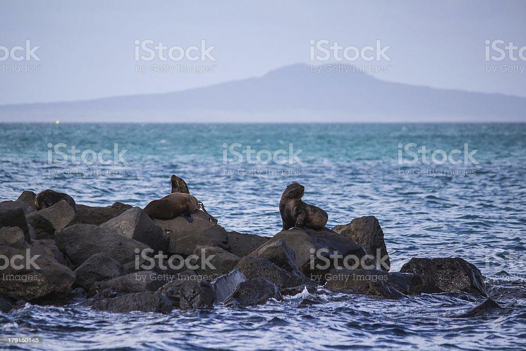 New Zealand Fur Seals royalty-free stock photo