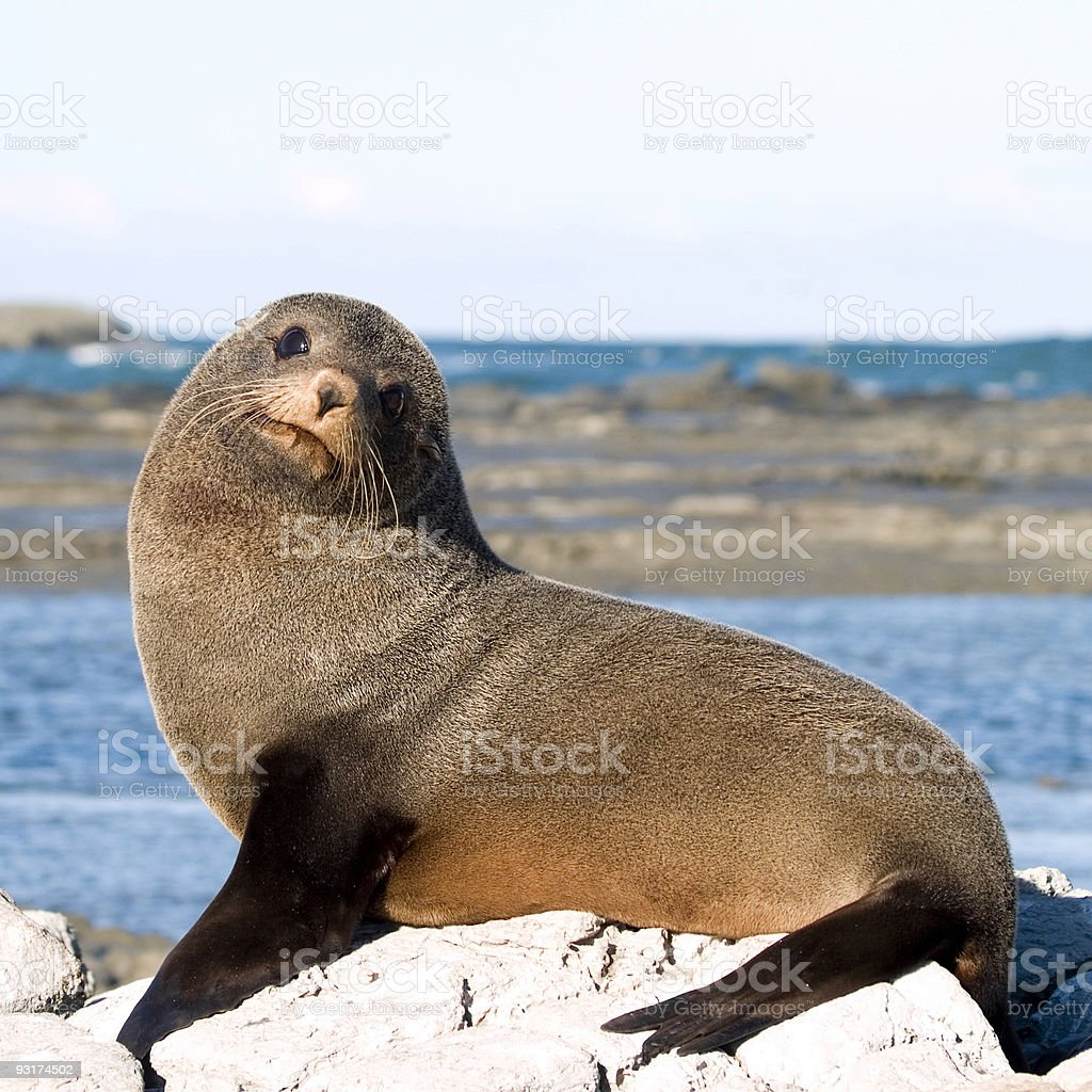 New Zealand Fur Seals royalty-free stock photo