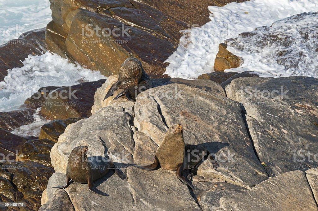 New Zealand fur seals sunbathing on Colony rocks, Kangaroo Island stock photo