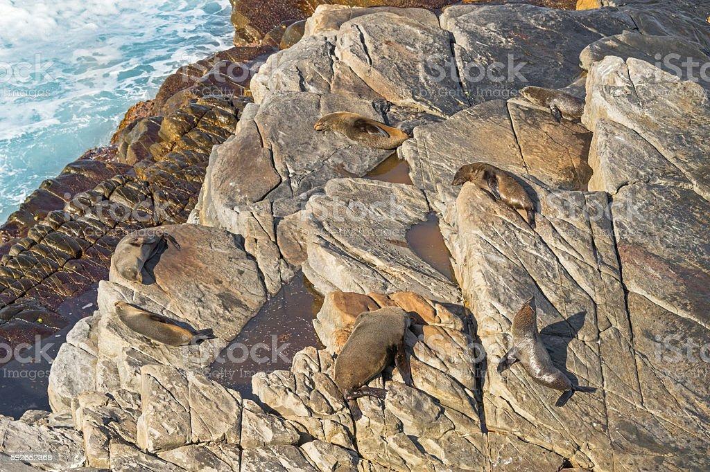 New Zealand fur seals sunbathing on Colony rocks near ocean stock photo