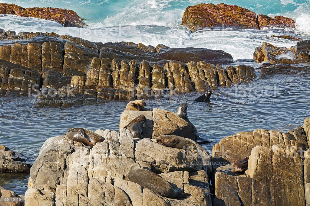 New Zealand fur seals swimming, sunbathing on Colony Rocks, Australia stock photo
