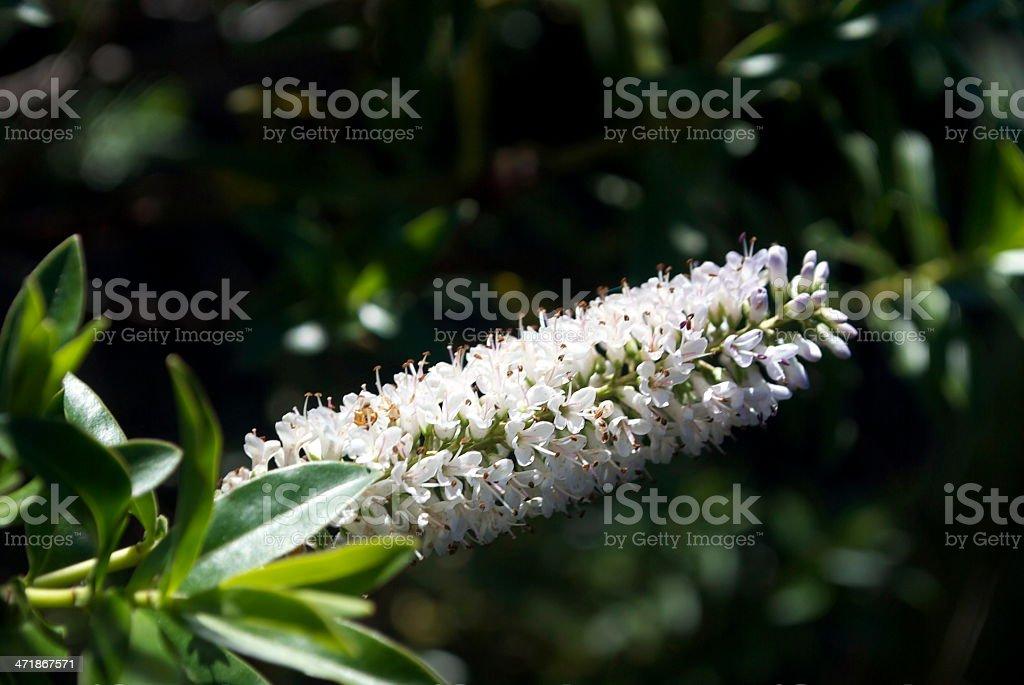 New Zealand Hebe Flower royalty-free stock photo