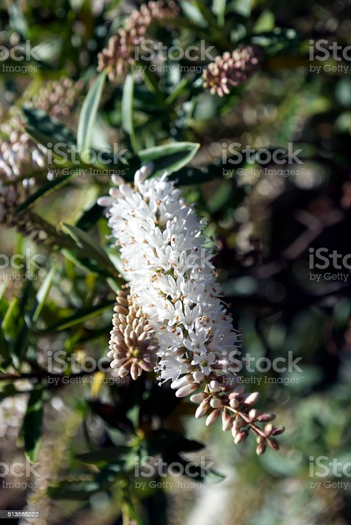 New Zealand Hebe Flower stock photo