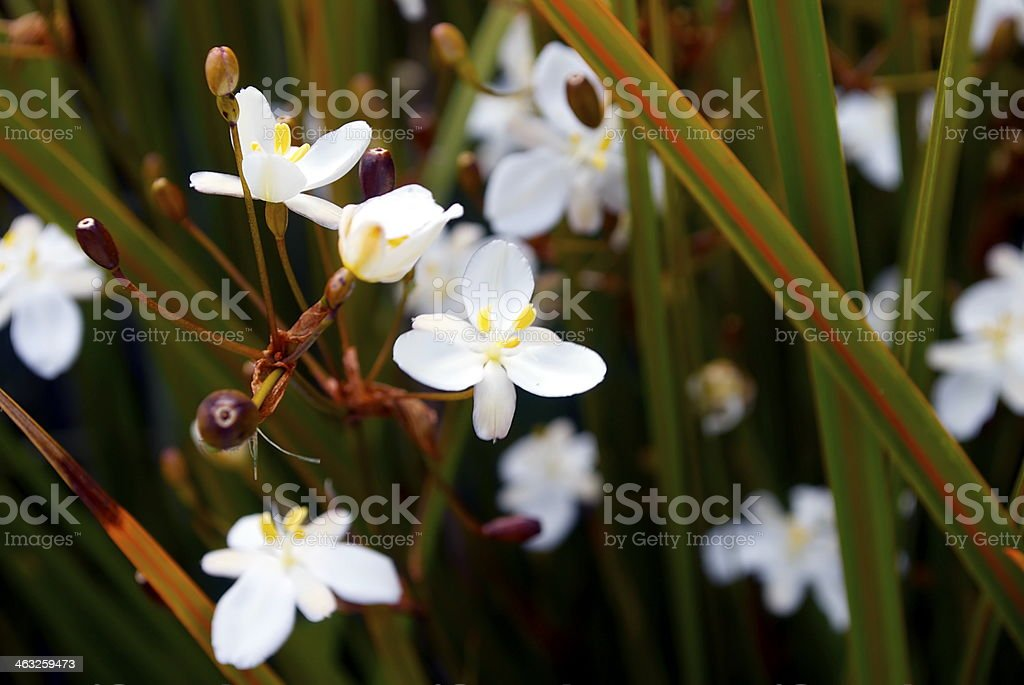 New Zealand Iris (Libertia peregrinans) in Flower stock photo