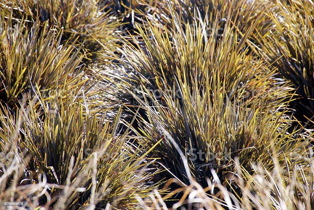 New Zealand Iris (Libertia peregrinans) stock photo