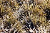 New Zealand Iris (Libertia peregrinans)