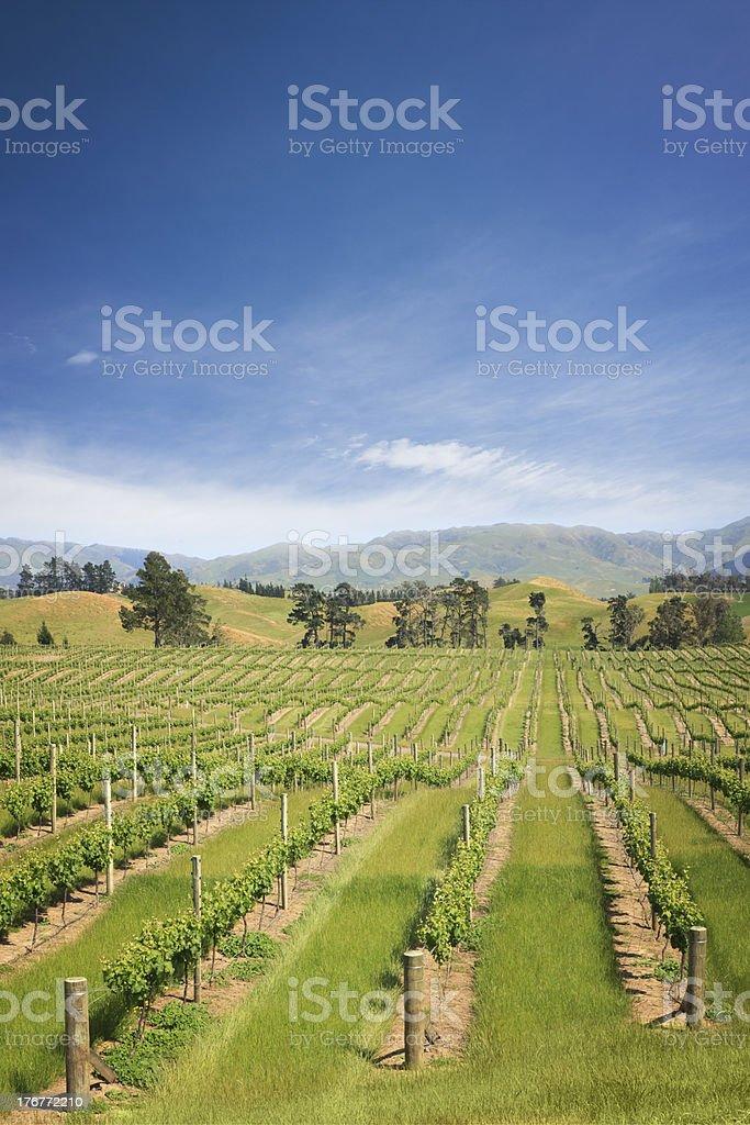 New Zealand Marlborough Vineyard stock photo
