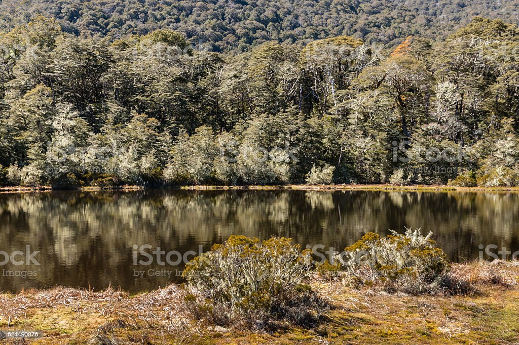 New Zealand native beech forest stock photo