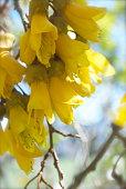 New Zealand Native Kowhai Bloom, Completely Defocussed