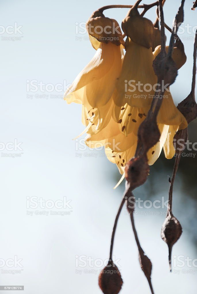 New Zealand Native Kowhai Bloom, Spring stock photo