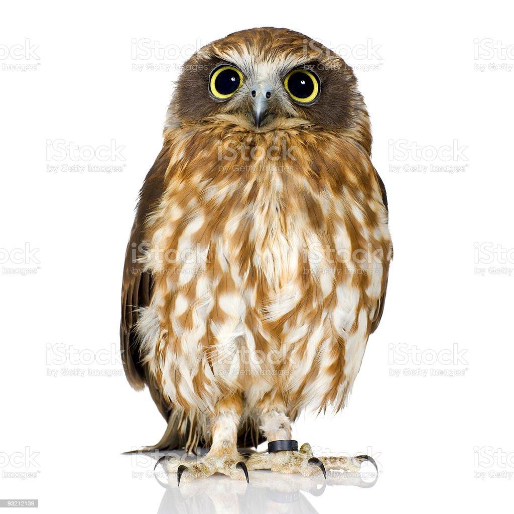 New Zealand owl stock photo