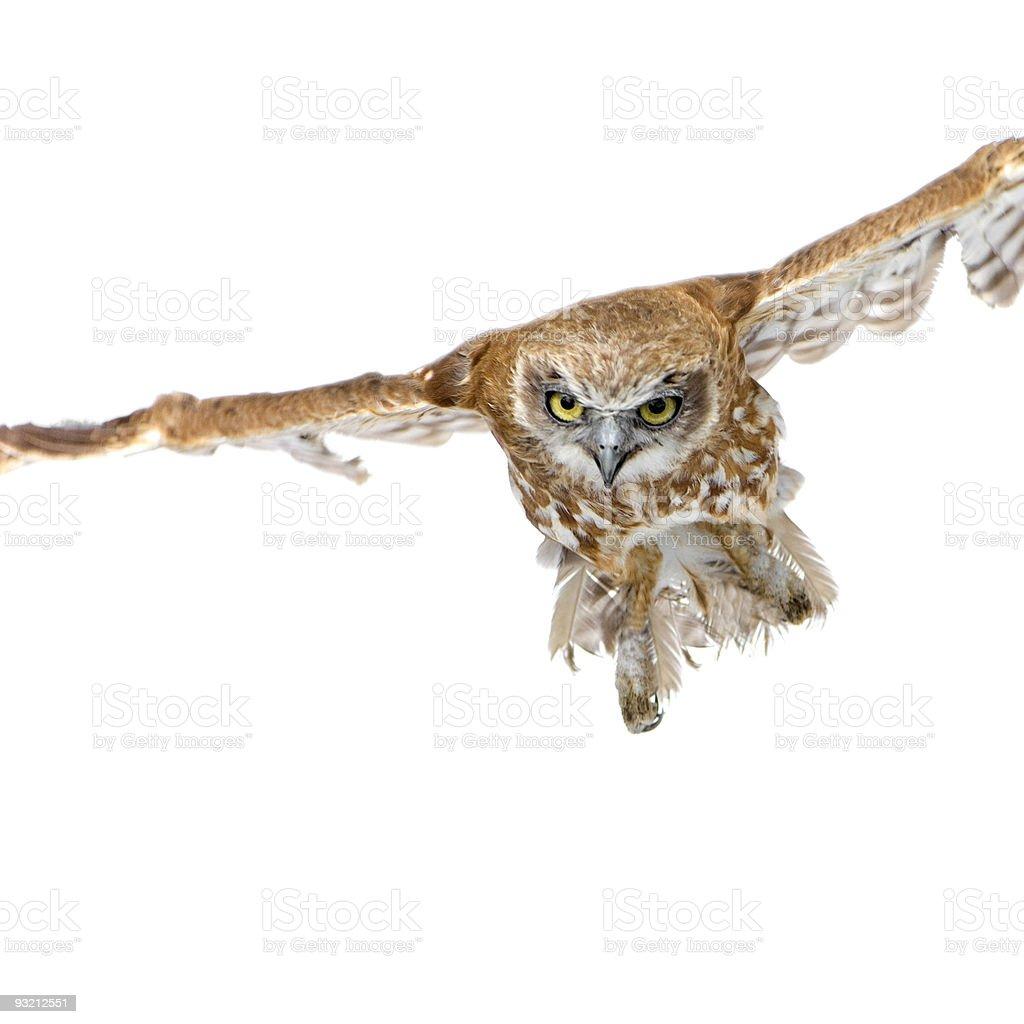 New Zealand owl (3 years) royalty-free stock photo