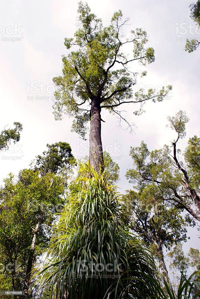 New Zealand Podocarp Tree covered in Dracophyllum Elegantissimum stock photo