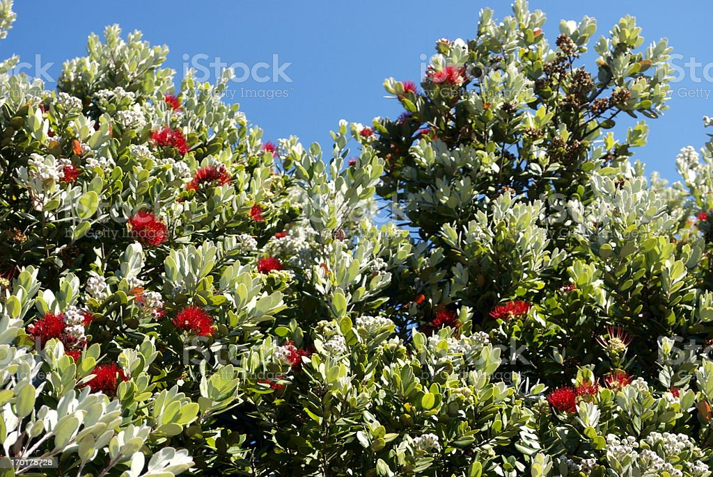 New Zealand Pohutukawa stock photo