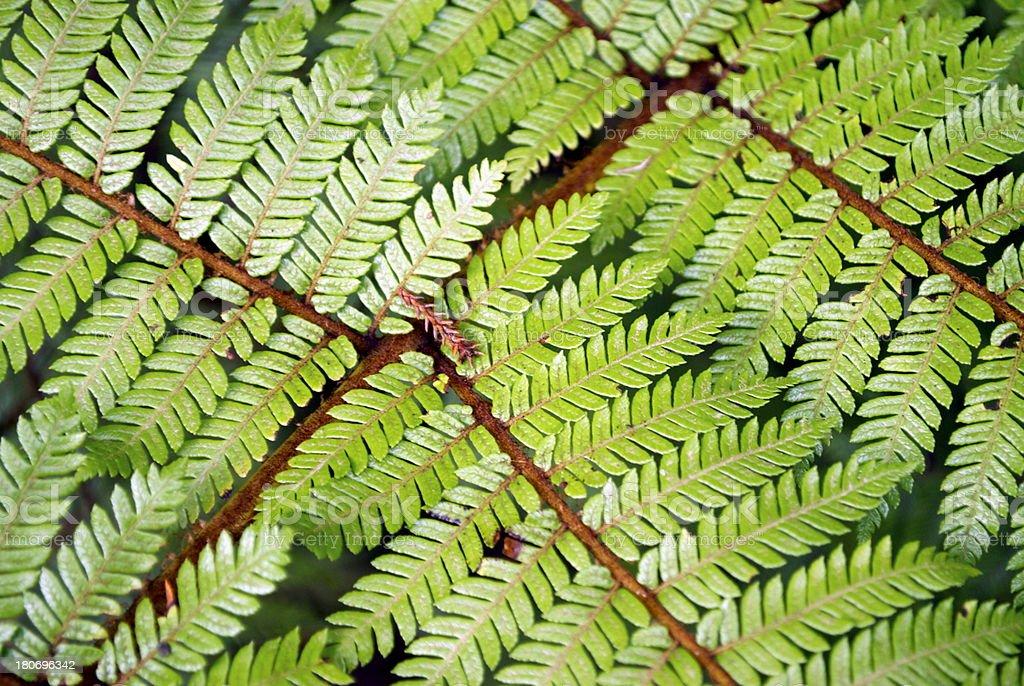 New Zealand Ponga Fern stock photo