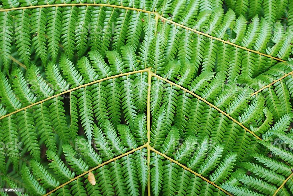 New Zealand Punga (Ponga) Fern Fronds Background stock photo