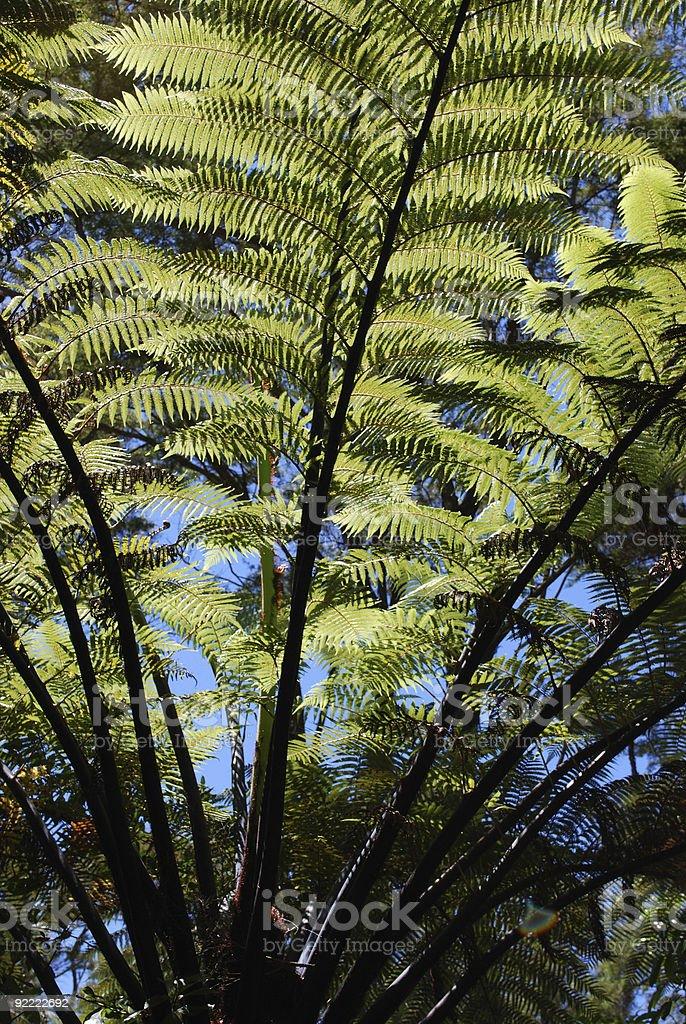 New Zealand Punga Tree Fern royalty-free stock photo