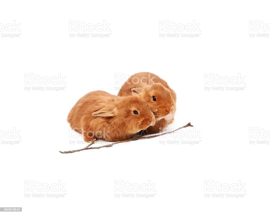 New Zealand purebred red baby rabbits on white tablecloth stock photo