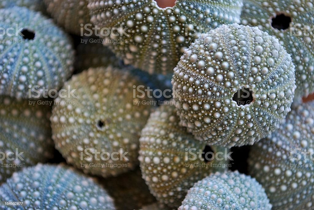 New Zealand Sea Urchin or Evechinus Chloroticus stock photo