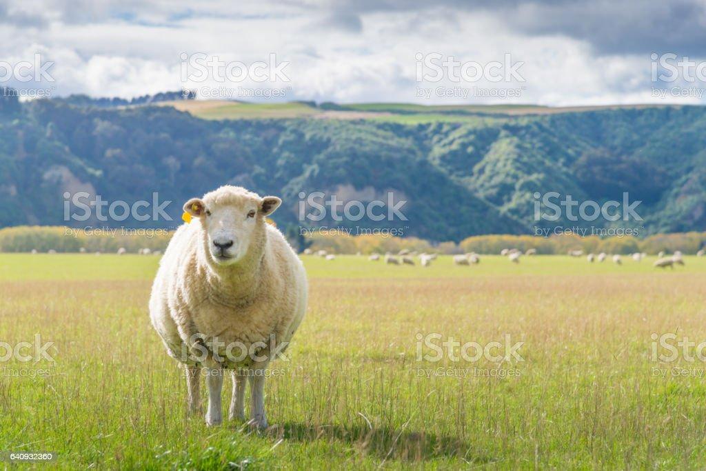 New Zealand sheep farm and mountain background. stock photo