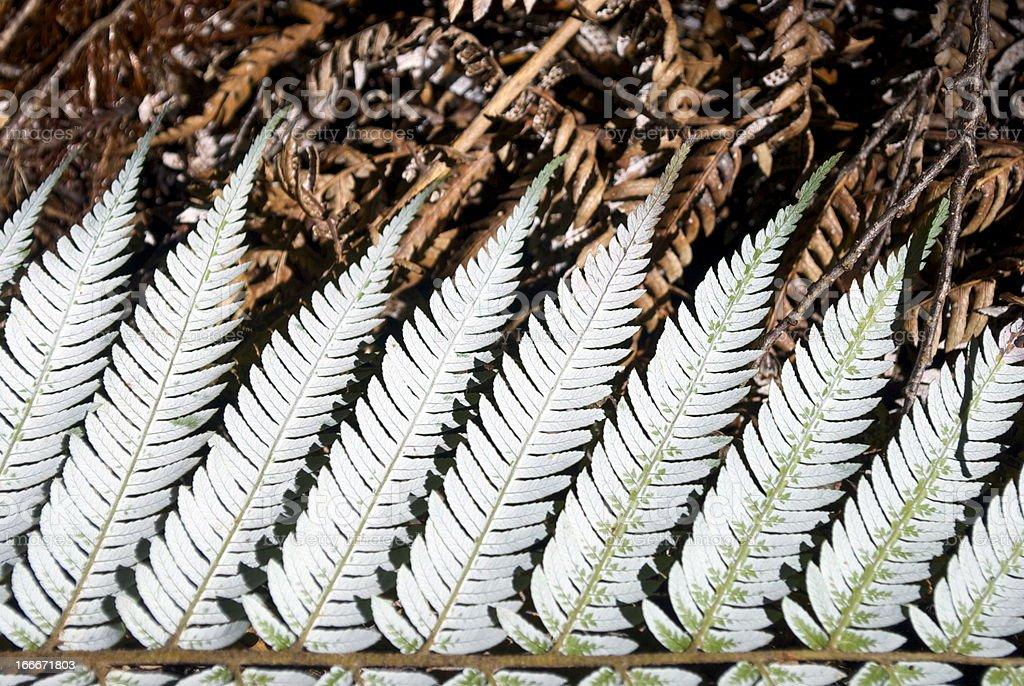 New Zealand Silver Fern (Punga) royalty-free stock photo