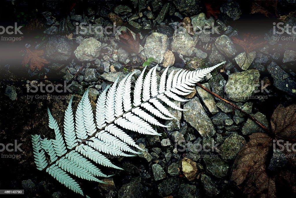 New Zealand Silver Fern (Punga) stock photo