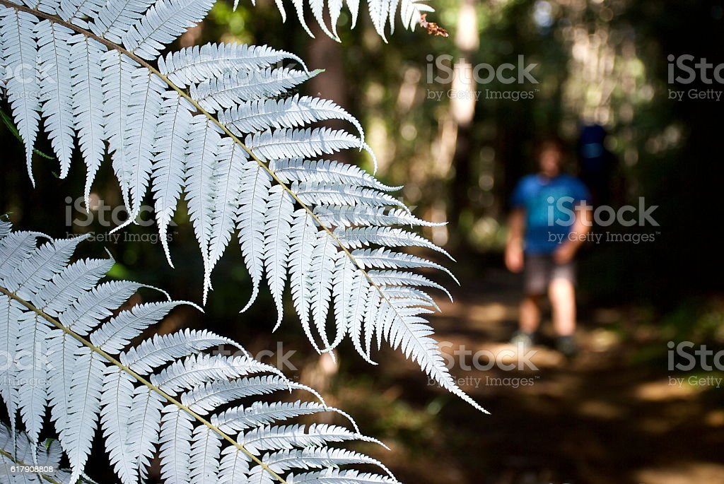 New Zealand Silver Fern (Cyathea dealbata) stock photo