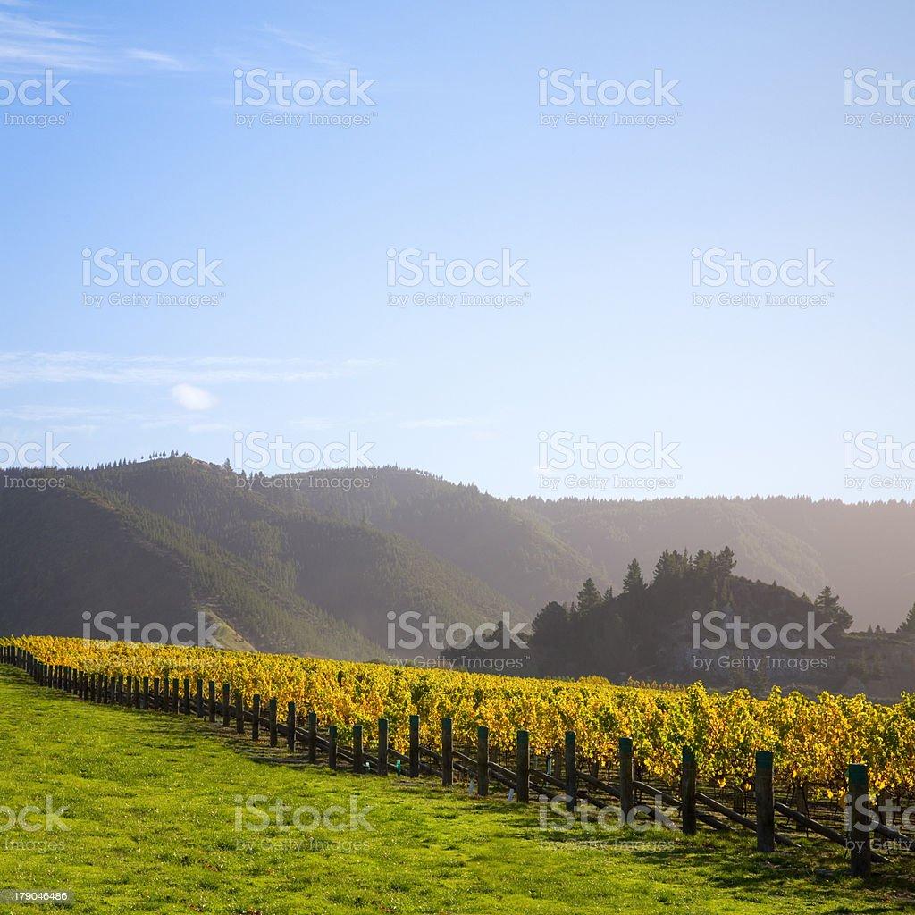 New Zealand Vineyard in Autumn stock photo