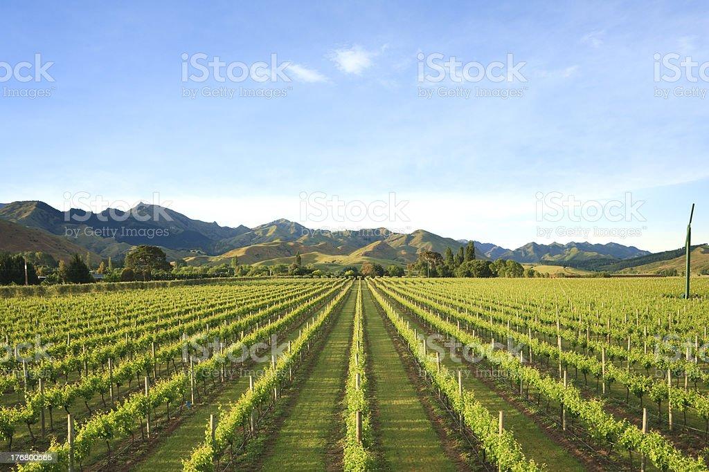 New Zealand Vineyard Marlborough royalty-free stock photo