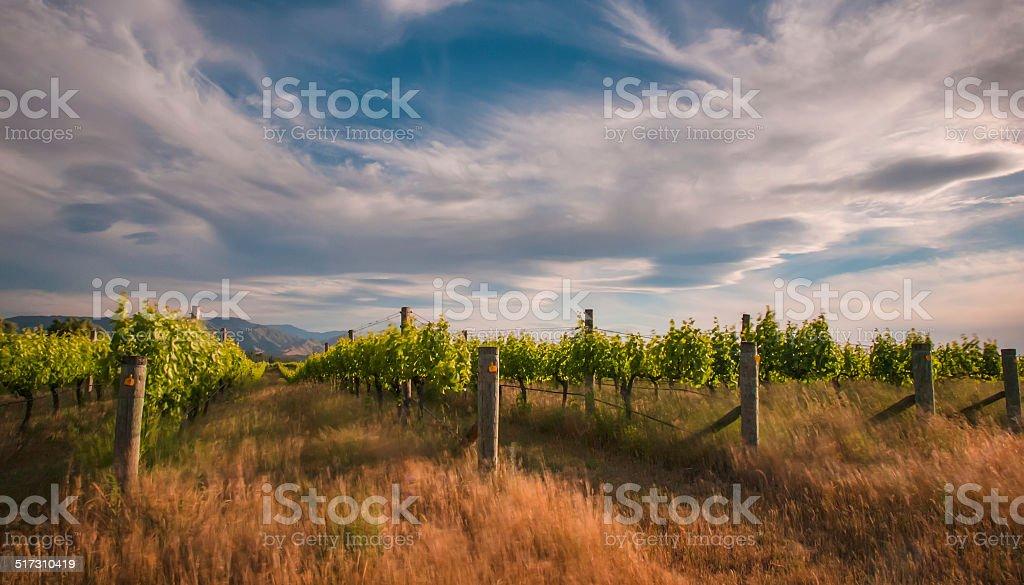 new zealand vineyard near Blenheim under a dramatic sky stock photo
