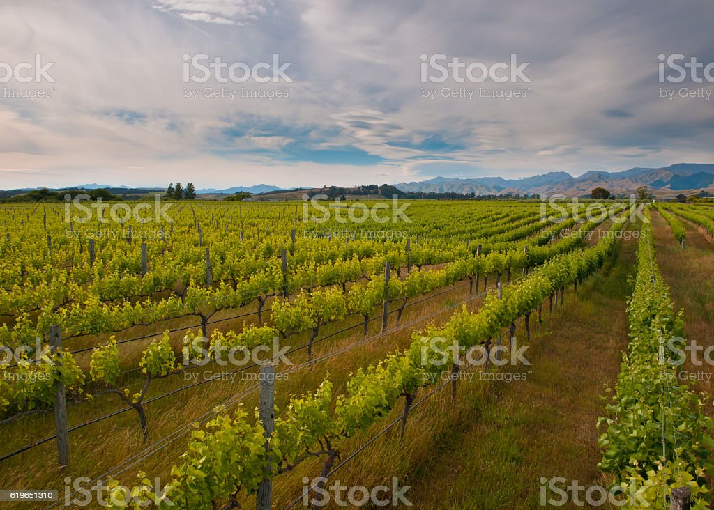 new zealand vineyard overview stock photo