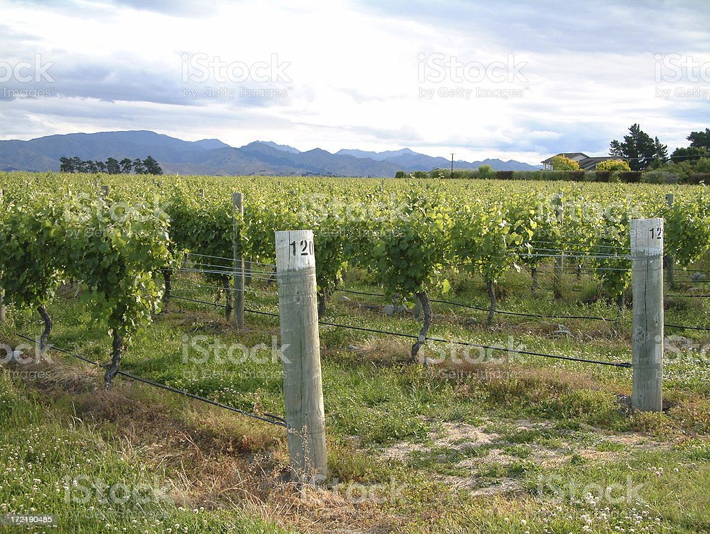 New Zealand Vineyard royalty-free stock photo