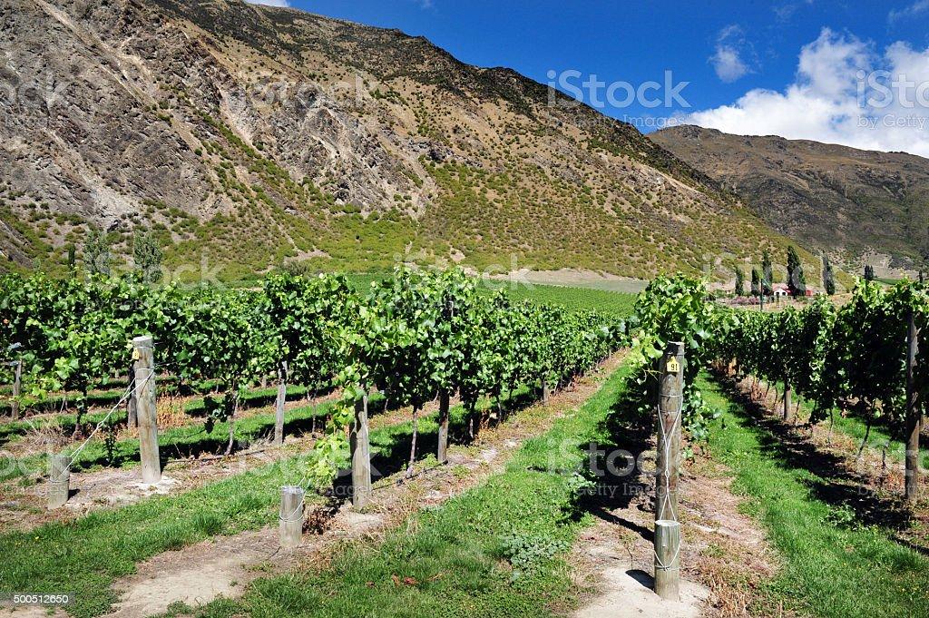 New Zealand Vineyard stock photo