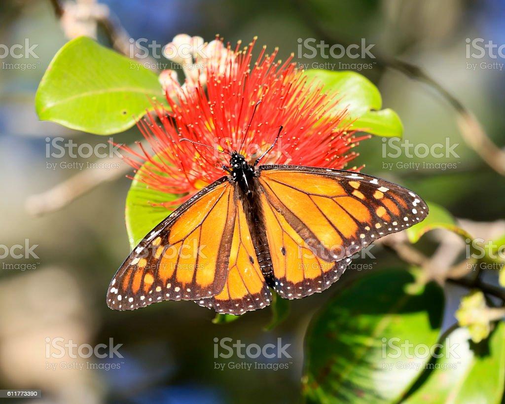 New Zealand Wanderer Butterfly stock photo