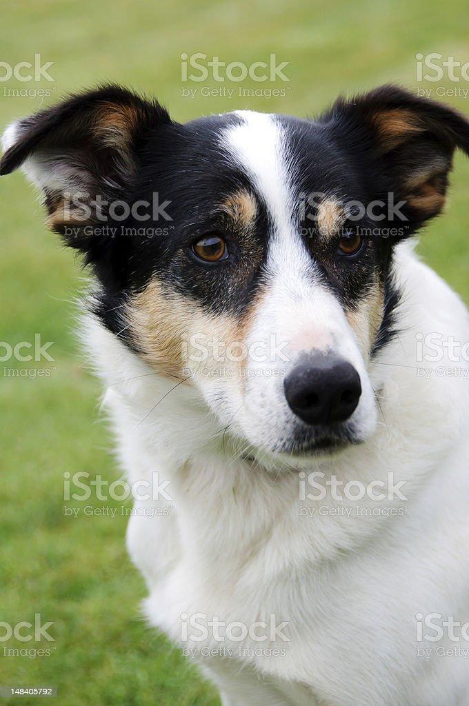 Perro de Nueva Zelanda foto de stock libre de derechos