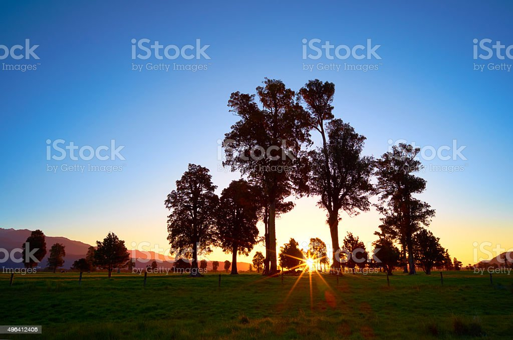 New Zealand's Kahikatea Trees At Sunset stock photo