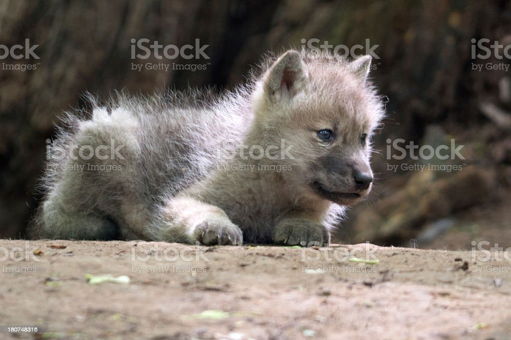 Newborn Baby Arctic Wolf in Wildlife stock photo