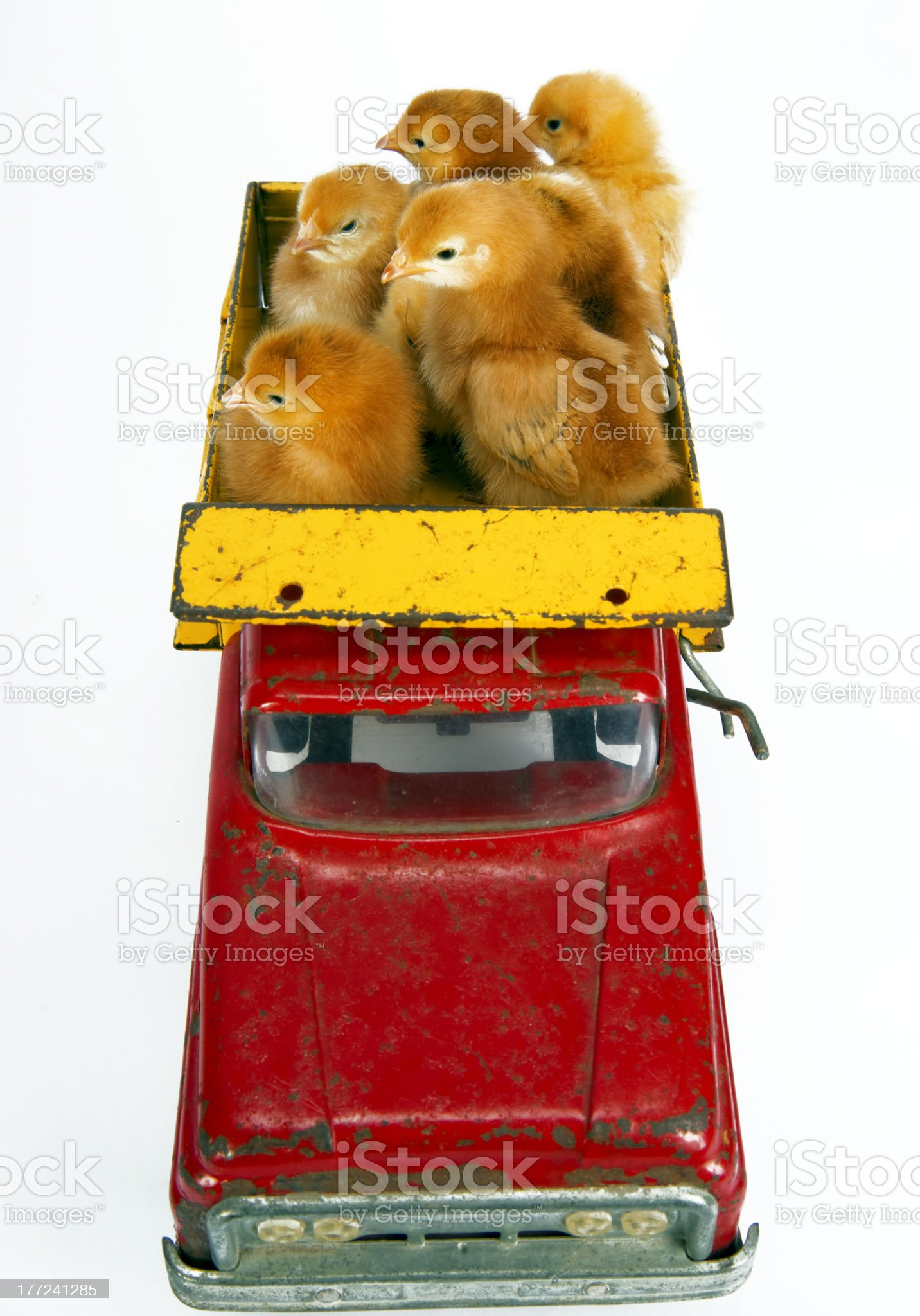 Newborn Baby Chickens Loaded in the Back Vintage Toy Truck royalty-free stock photo