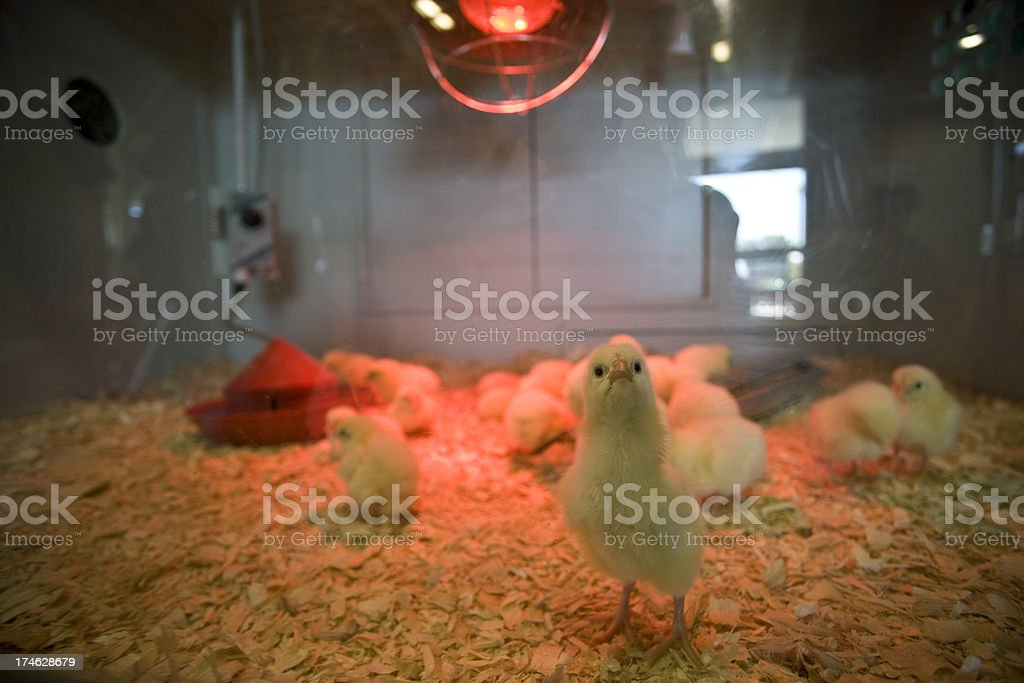 Newborn baby chicks stock photo