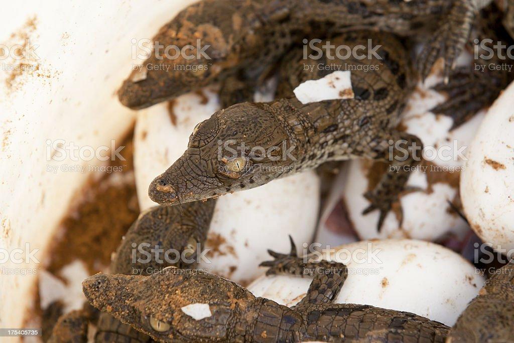 newborn: baby Crocodiles stock photo