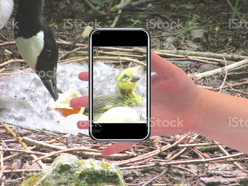 newborn baby duckling in its nest stock photo