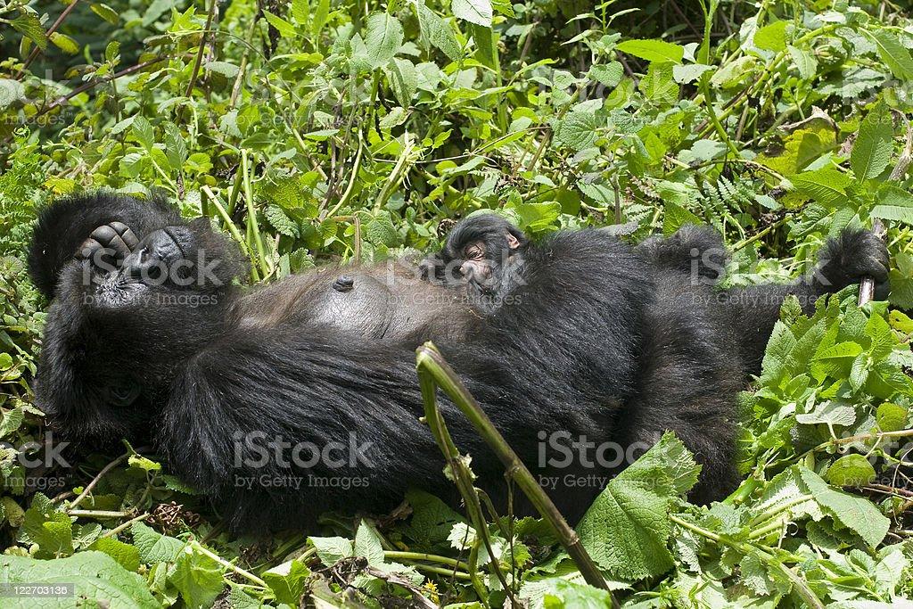 Newborn Baby Gorilla sleeping at mothers chest royalty-free stock photo