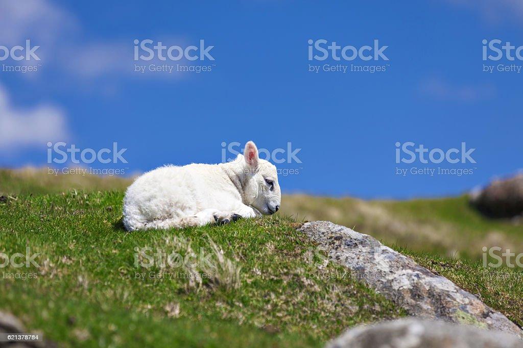 Newborn baby lamb rests on grass stock photo