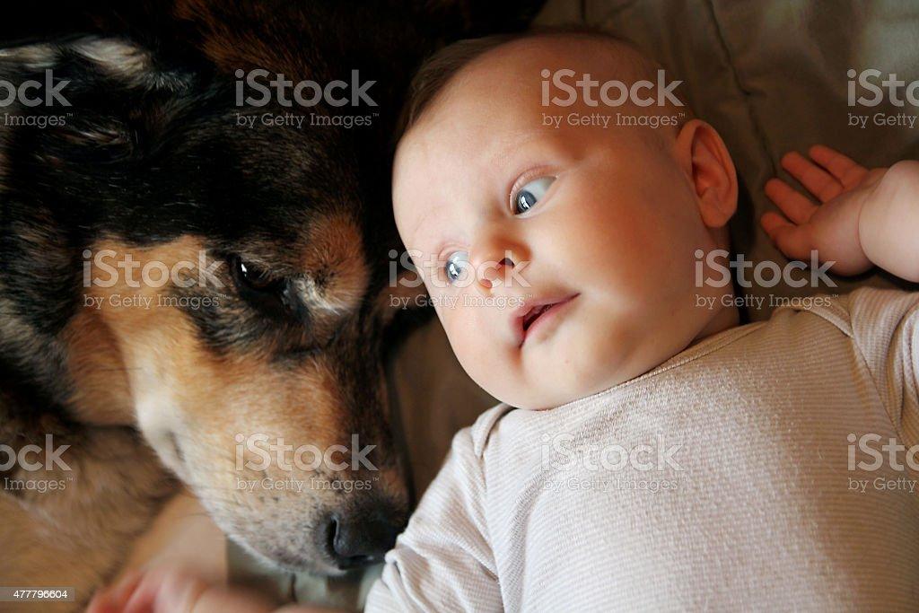 Newborn Baby Laying with Pet German Shepherd Dog stock photo
