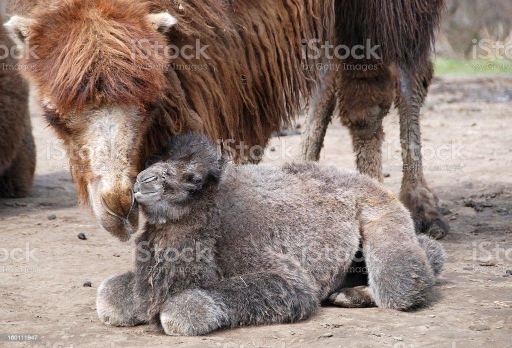 Newborn Bactrian Camel stock photo