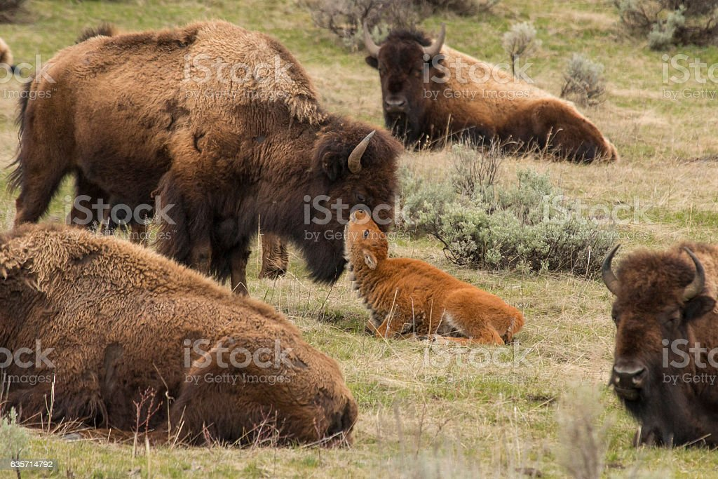 Newborn bison calf getting nuzzled by mom in Yellowstone. stock photo