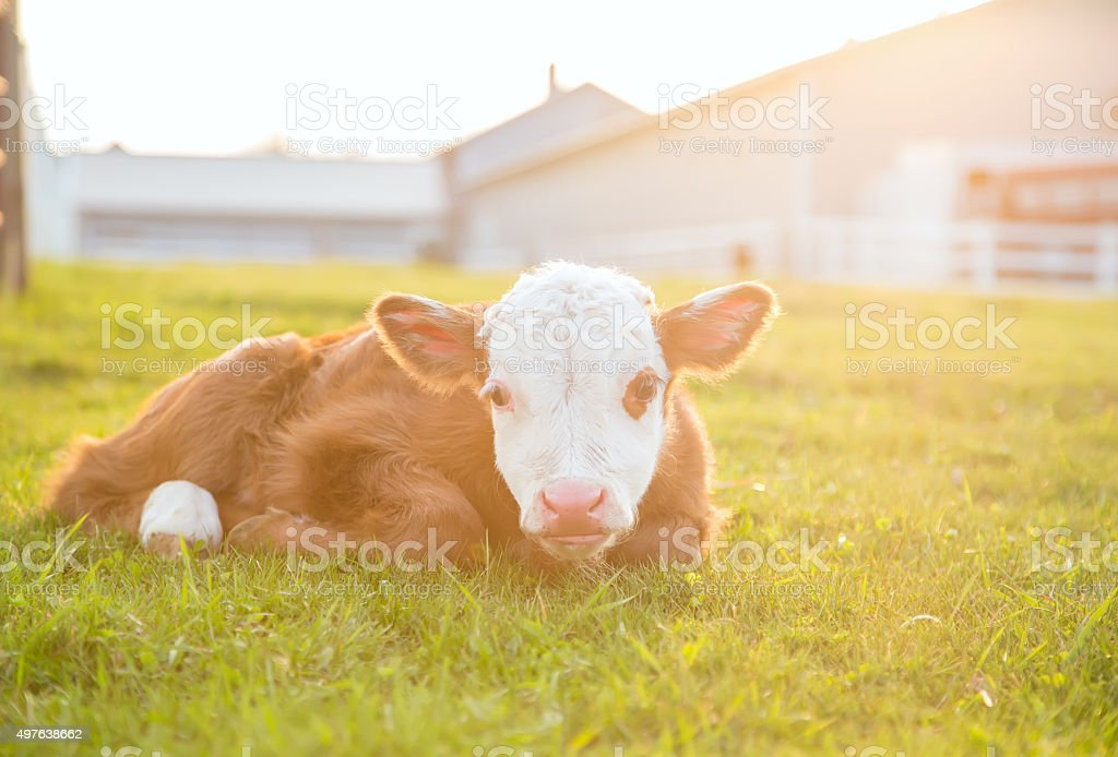Newborn Brown & White Hereford Calf Laying in Pasture stock photo