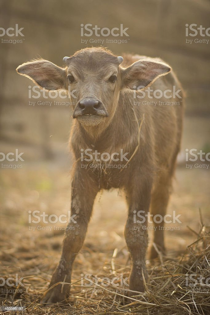 Newborn Buffalo royalty-free stock photo