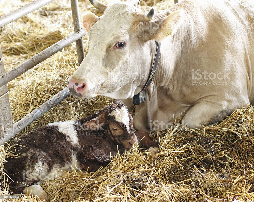 newborn calf in the straw with her mom cow royalty-free stock photo